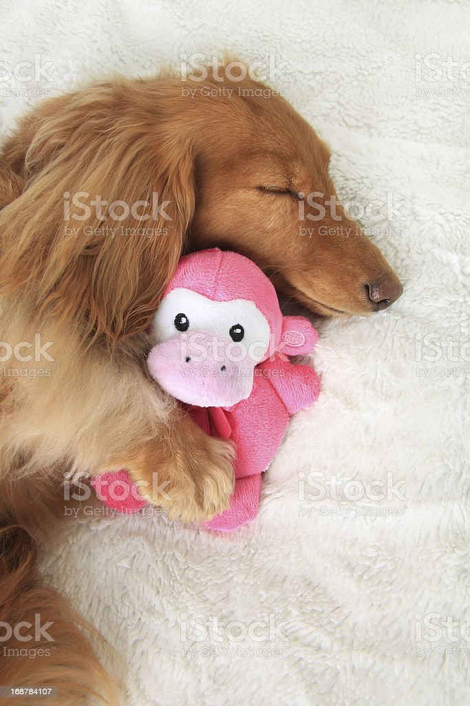 Brown sleeping dog with paw on pink monkey cuddly toy stock photo