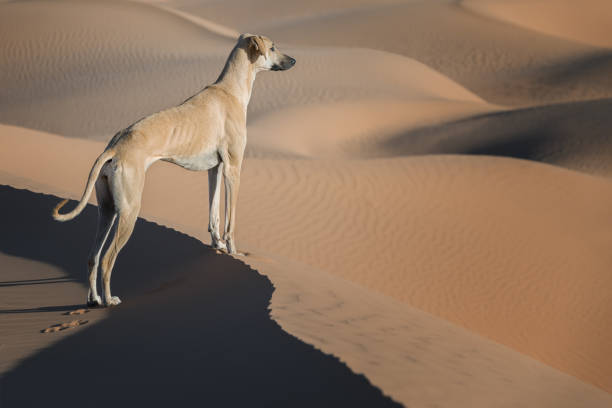 A brown Sloughi dog (Arabian greyhound) stands on top of a sand dune in the Sahara desert of Morocco. stock photo