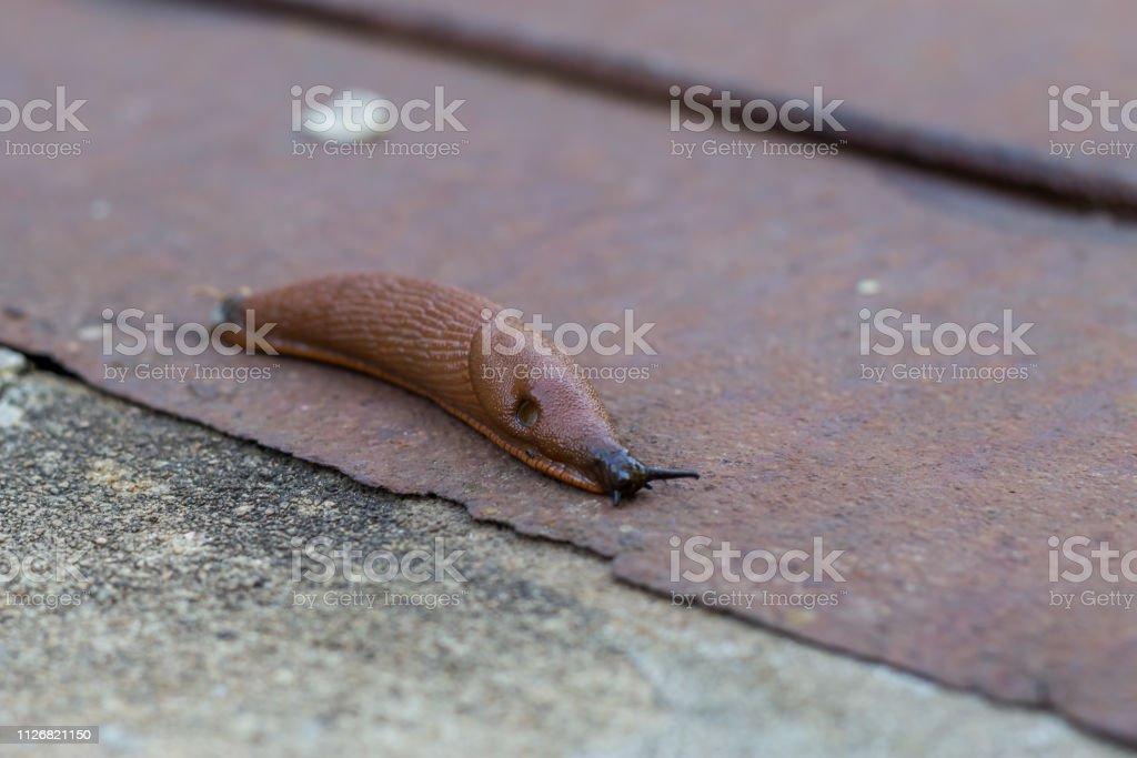 Brown slug stock photo
