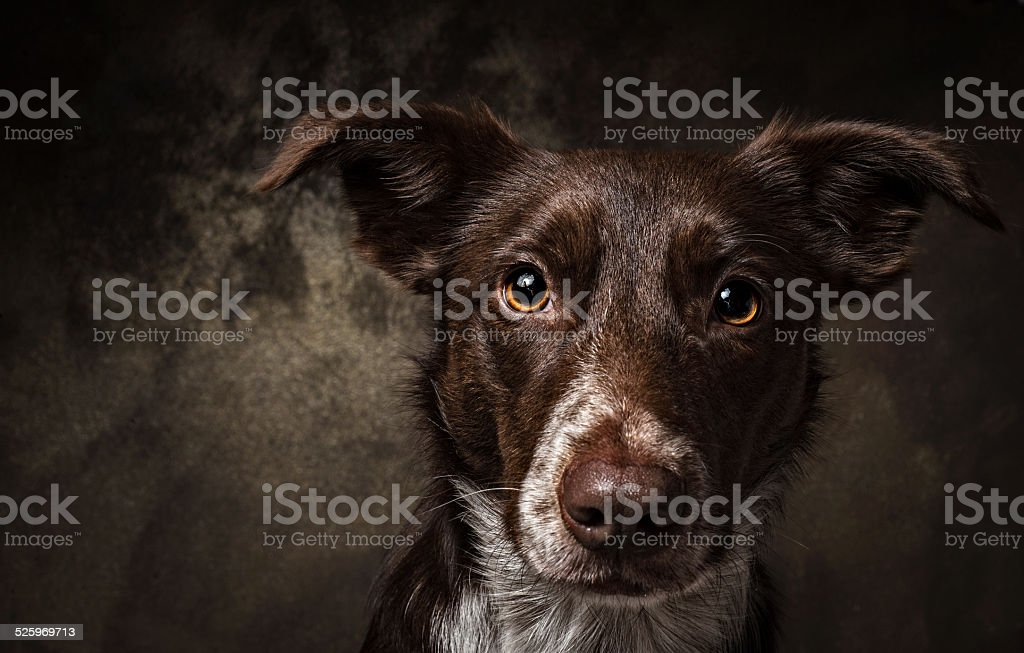 Brown smooth coated dog border collie portrait stock photo