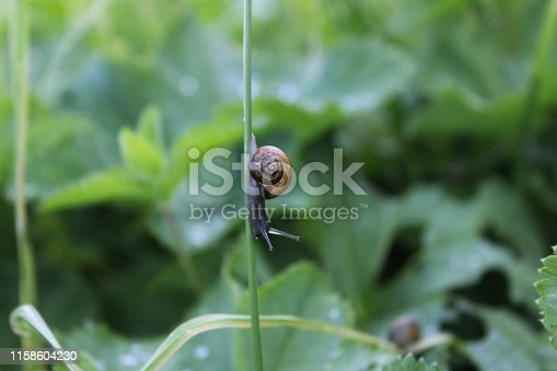 Brown snail crawling on the green grass in the garden