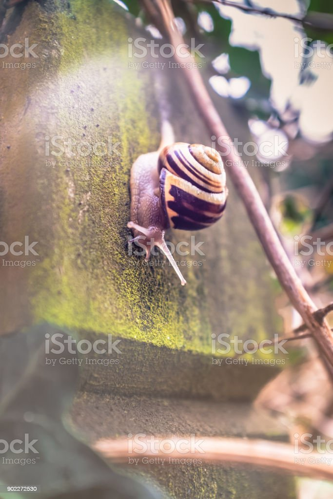 brown snail crwaling down wooden post in morning light stock photo