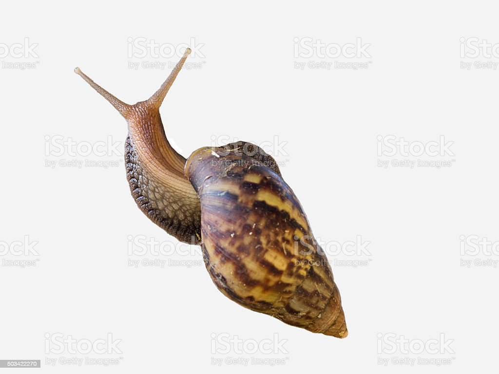 Brown Snail isolated on white background. stock photo