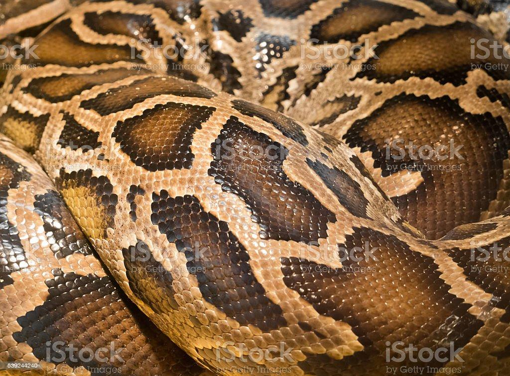 Marrón de la piel de serpiente foto de stock libre de derechos