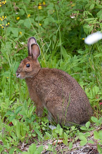 brown schneeschuhhase im sommer - schneeschuhhase stock-fotos und bilder