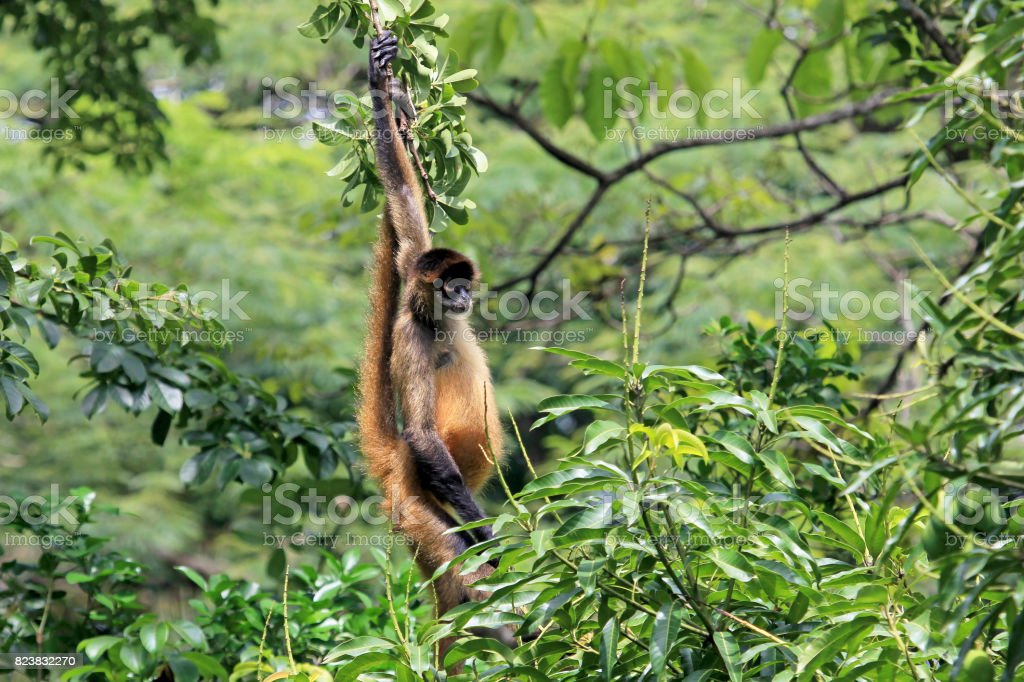 Brown Spider Monkey Hanging From Tree Costa Rica Stock Photo More