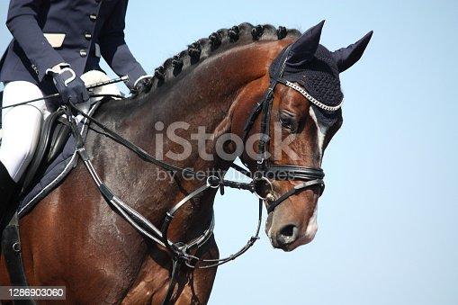 Brown sport horse portrait on sky background