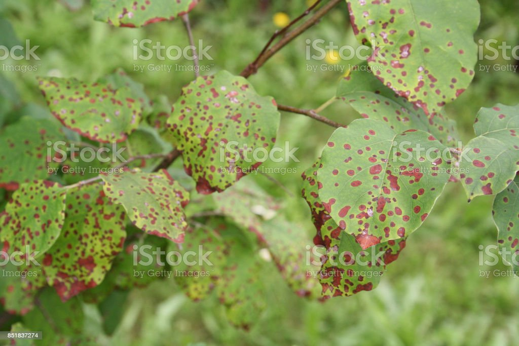 Brown spots on leaves stock photo