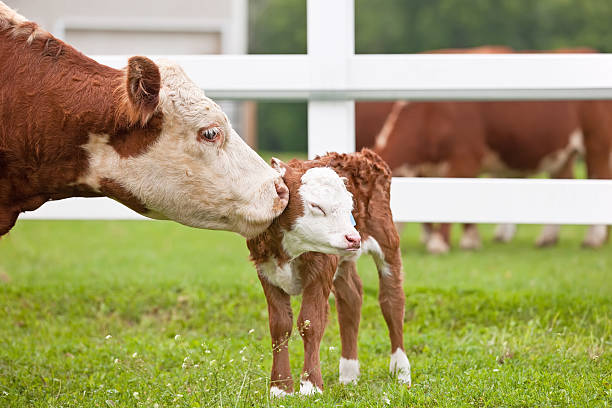 Brown spotted cow and calf on a lush green field in Hereford Hereford cow sniffing her newborn calf. newborn animal stock pictures, royalty-free photos & images