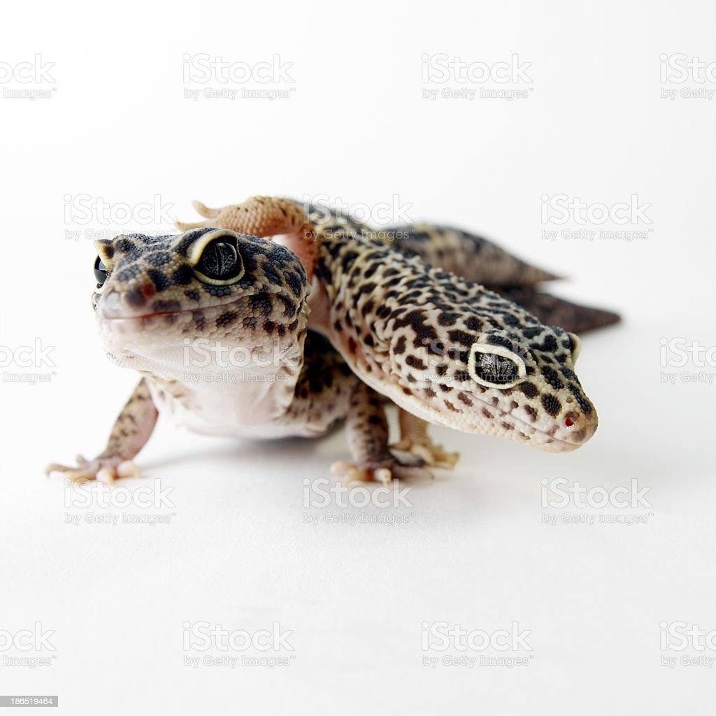 brown spotted gecko reptiles isolated royalty-free stock photo