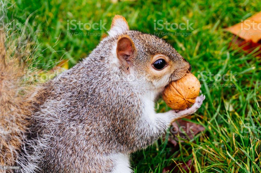 Brown squirrel eating Lizenzfreies stock-foto