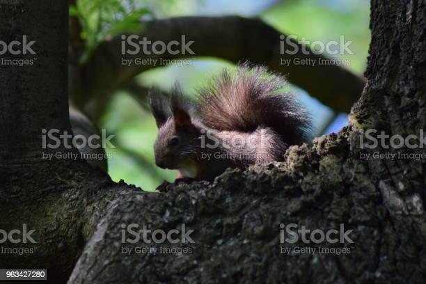 Brązowa Wiewiórka Spoczywana Na Dużej Gałęzi Drzewa - zdjęcia stockowe i więcej obrazów Bez ludzi