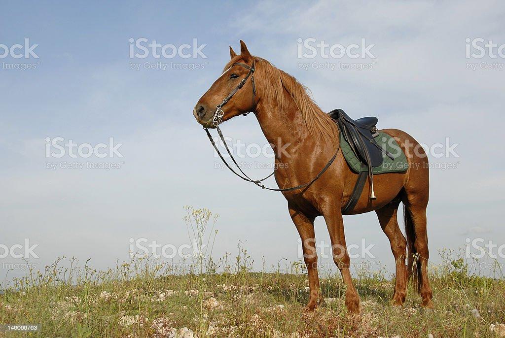 brown stallion stock photo