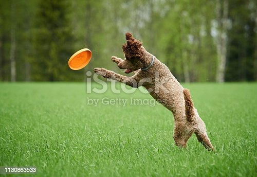Brown standard poodle running and jumping joyfully in a meadow. Playful dog playing with a toy in the grass in summer.