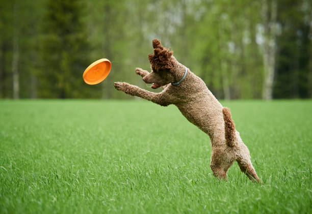 Brown standard poodle running and jumping stock photo
