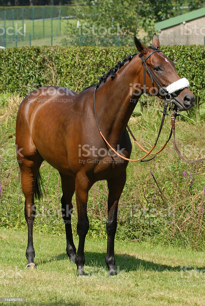 brown steeple-chase horse royalty-free stock photo