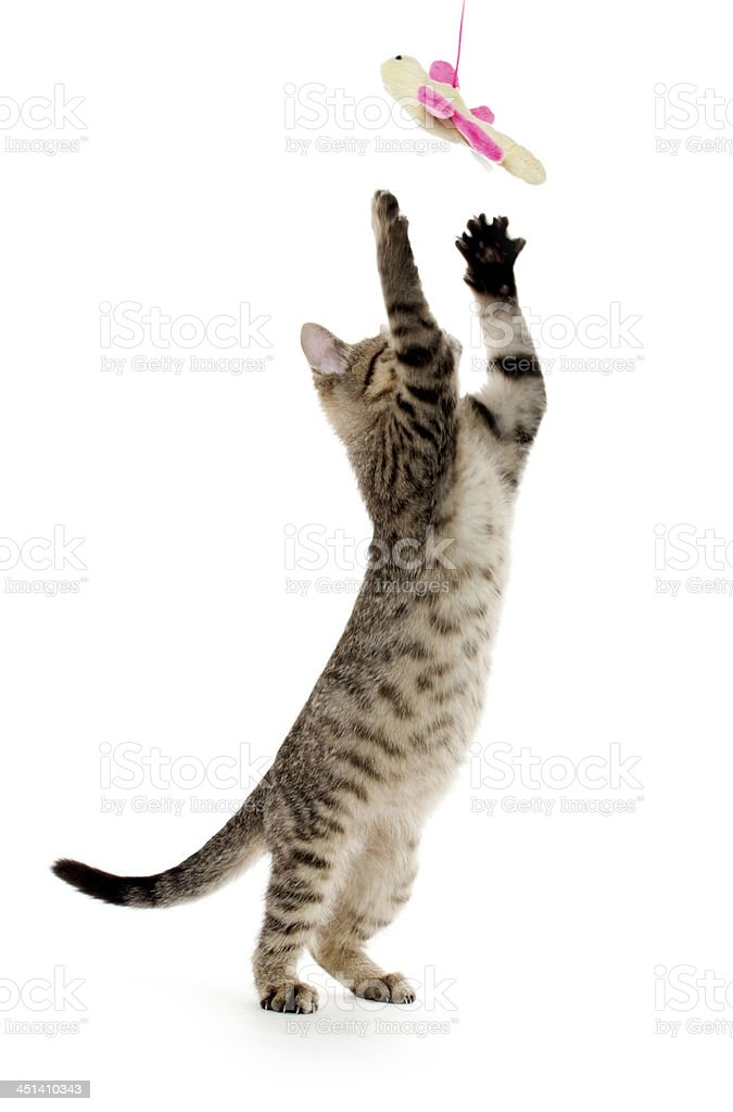 A brown striped cat standing up with two feet to catch a toy stock photo