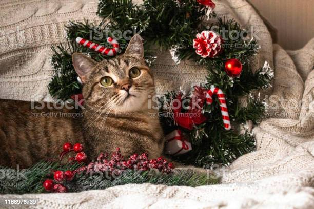 Brown striped kitty on knitted woolen beige plaid with christmas and picture id1166976739?b=1&k=6&m=1166976739&s=612x612&h=qfifxigm3mzfllejhyr9gyaclj89ybanyn74z0cqwru=