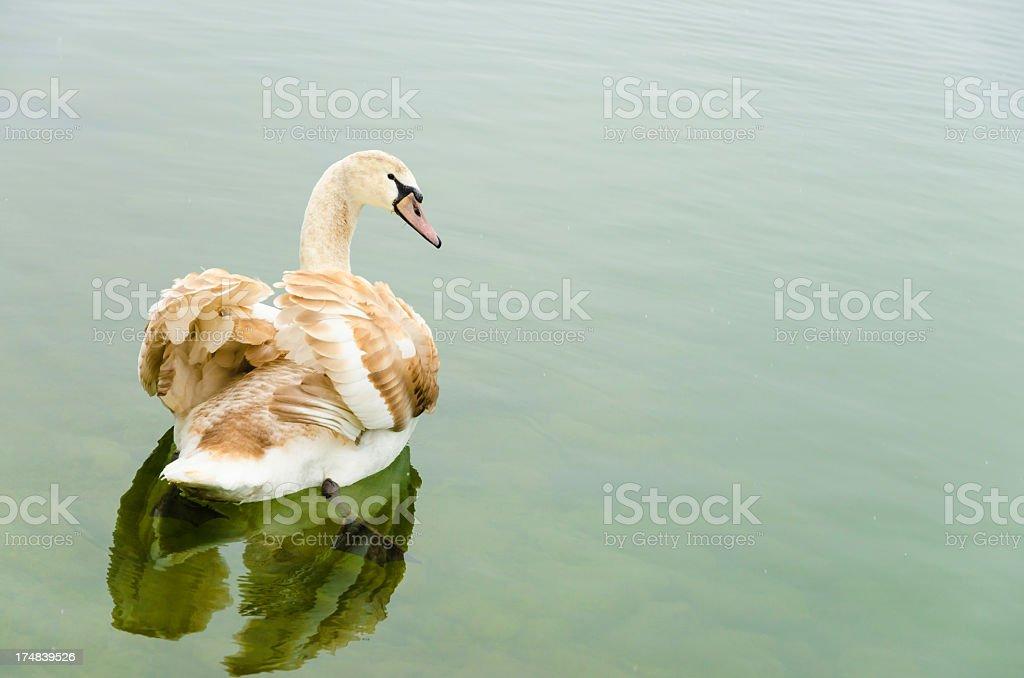 Brown Swan swimming on a lake royalty-free stock photo