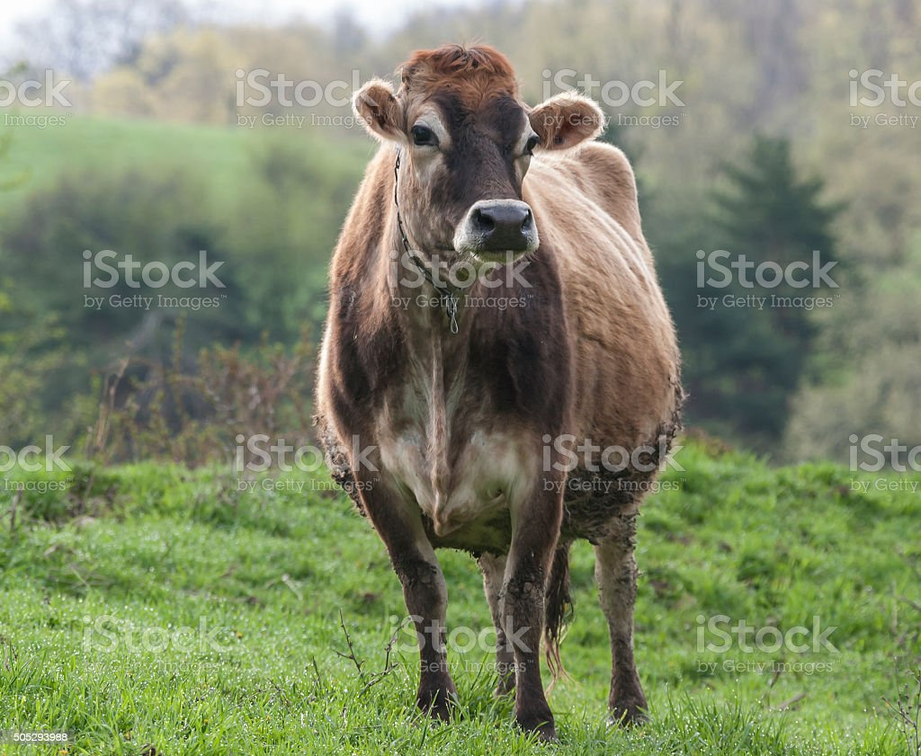 Brown Swiss Cow stock photo