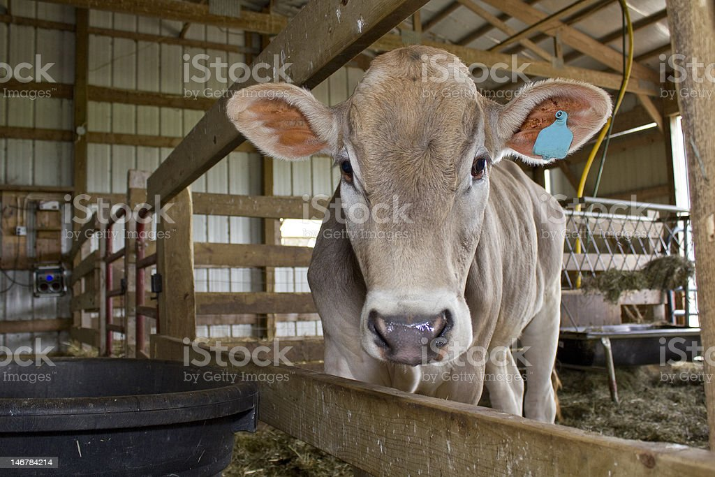 Brown Swiss in barn stock photo