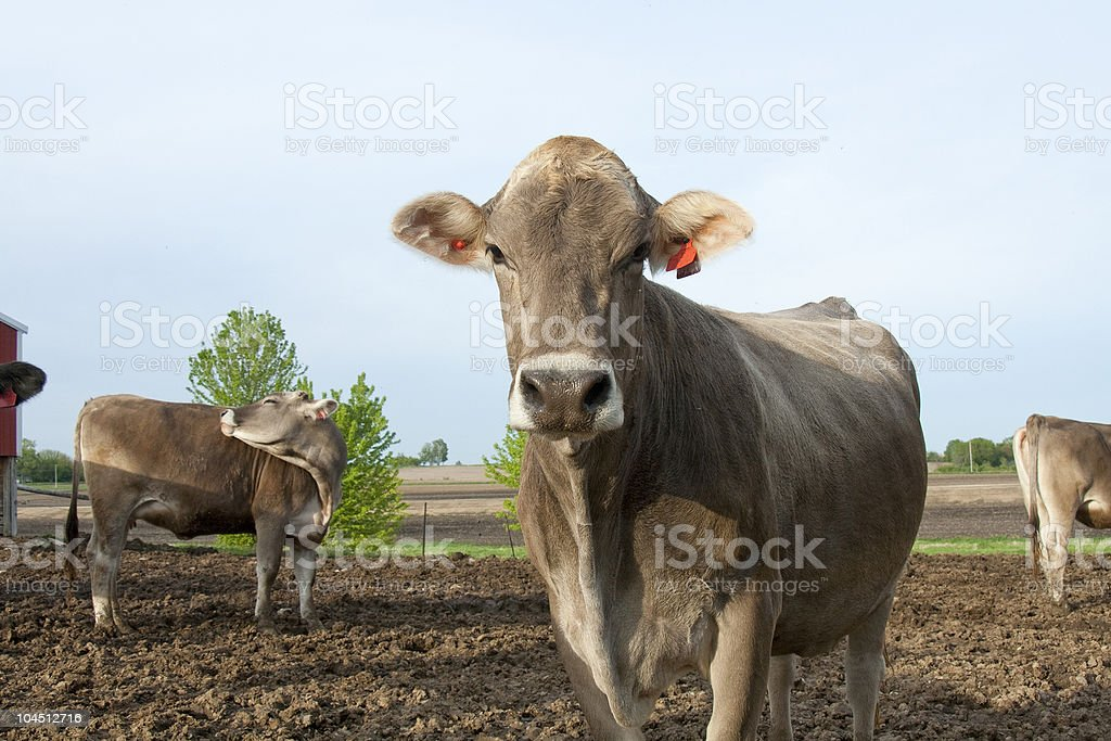Brown Swiss outside stock photo