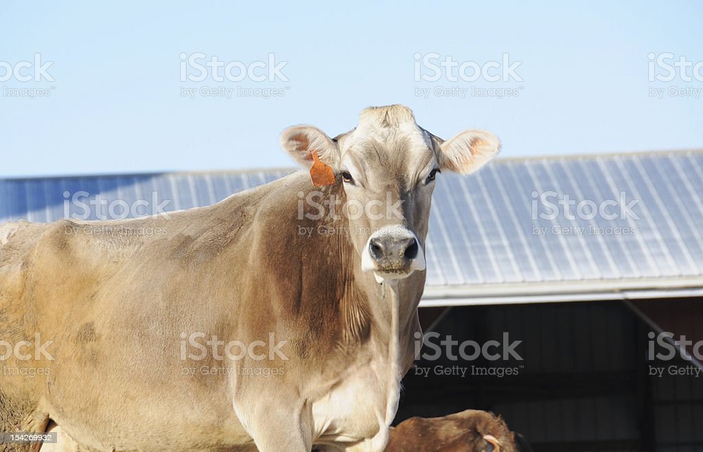 Brown Swiss stock photo