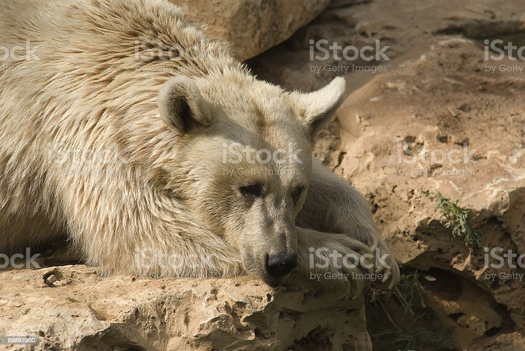 Brown Syrian Bear royalty-free stock photo