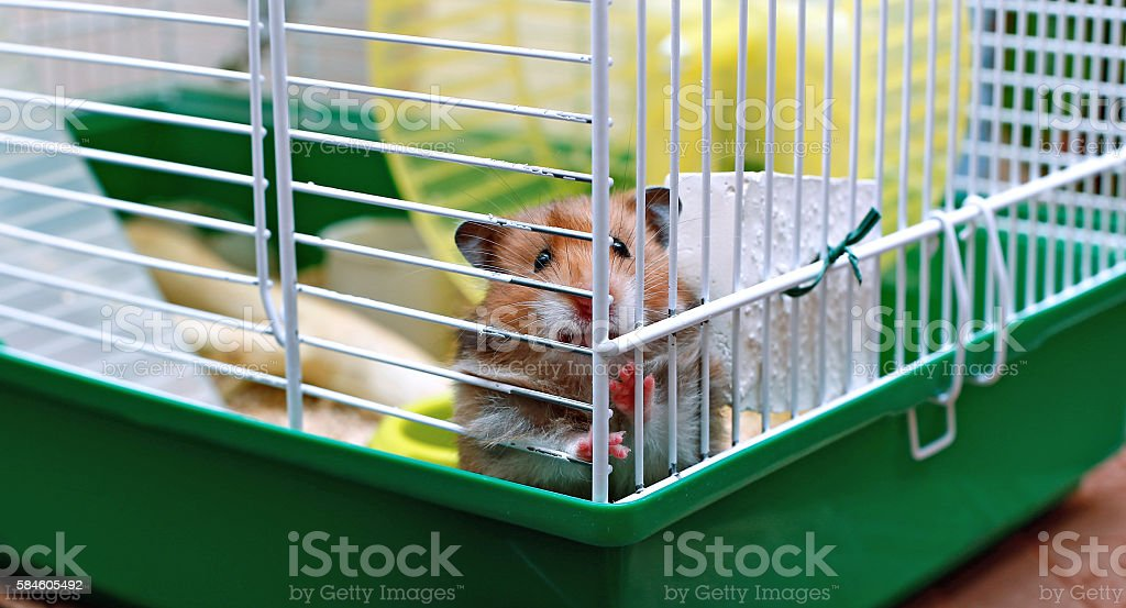 Brown Syrian hamster gnaws inside a cage stock photo