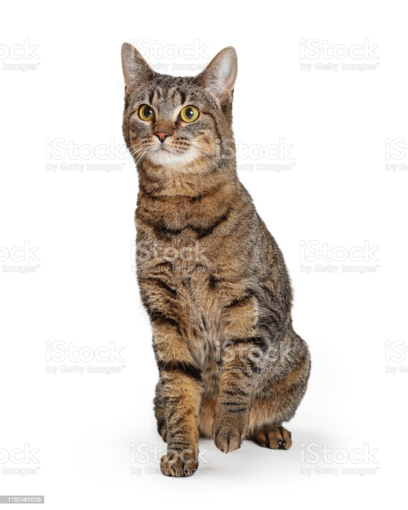 Brown Tabby Cat Lifting Paw Stock Photo Download Image Now Istock