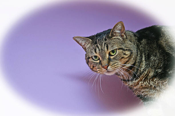 Brown Tabby Cat on a Violet Background with Vignette stock photo