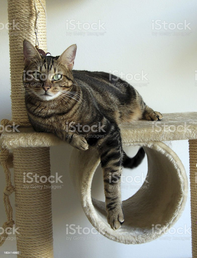 brown tabby cat on its tree stock photo