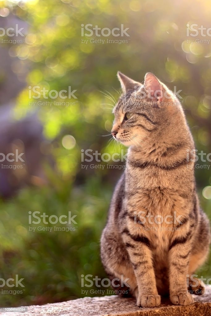 Brown Tabby Cat stock photo