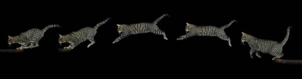Brown tabby domestic cat adult leaping against black background picture id1253430637?b=1&k=6&m=1253430637&s=612x612&w=0&h=nvyiymcqvcrdsdsymh8nh2ntttuvjkab6uybddclqpw=