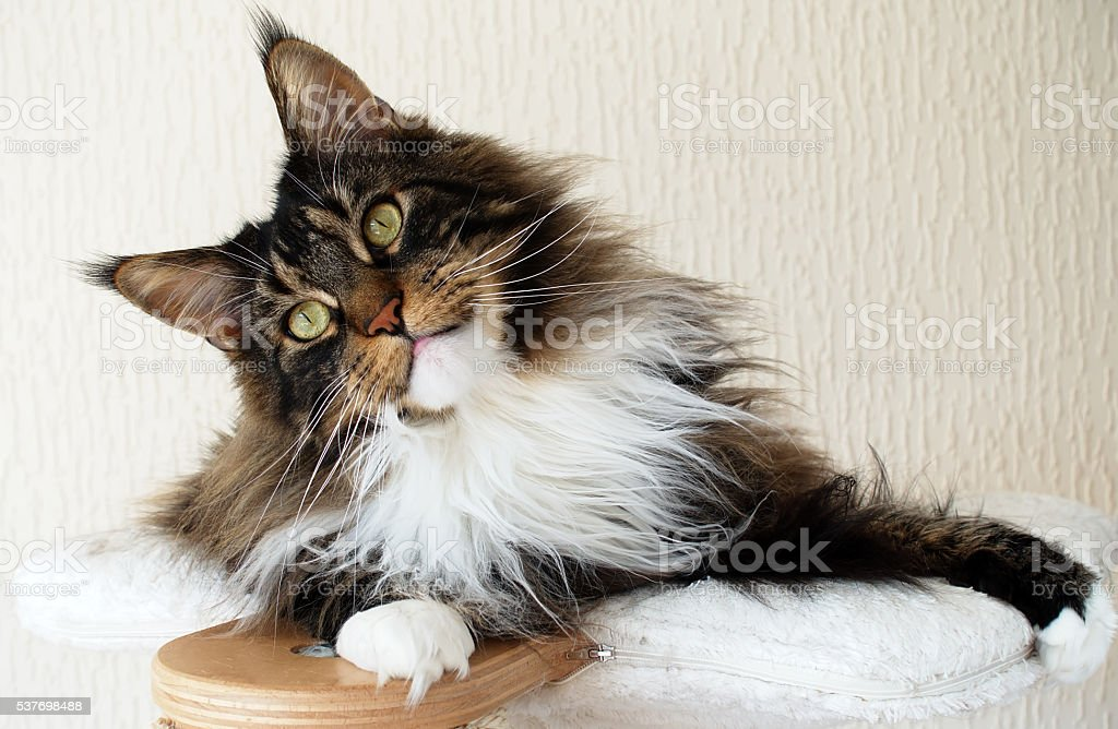 Brown tabby with white Maine Coon looking curious stock photo