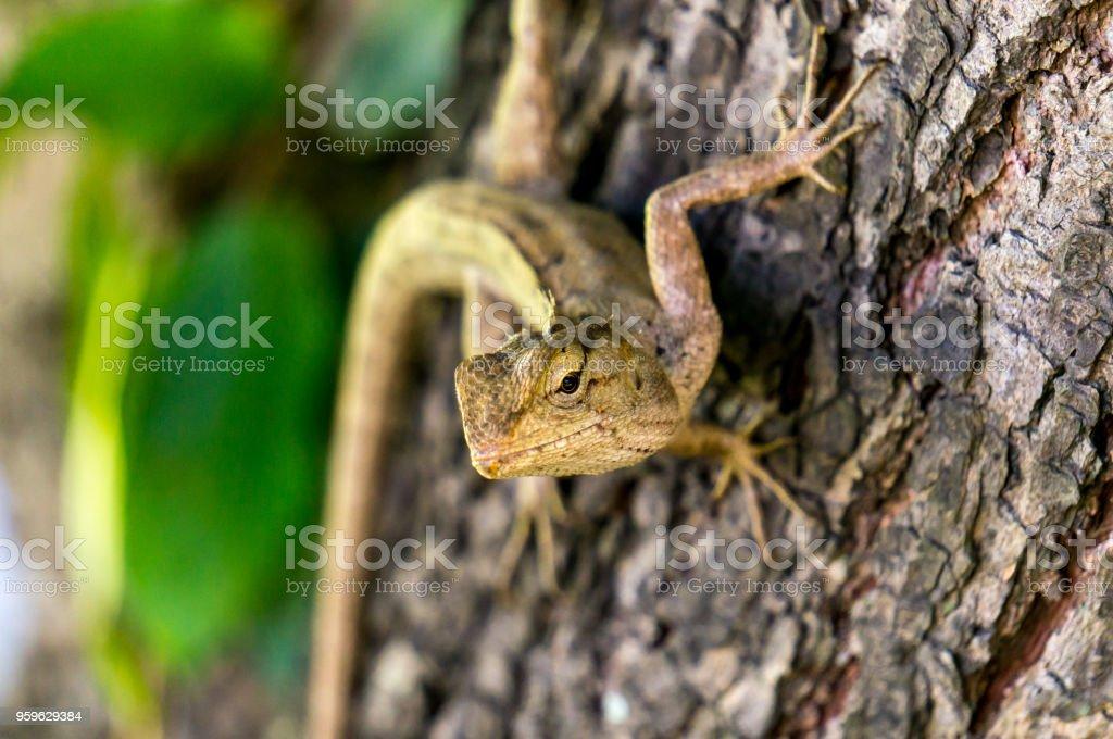 Café tailandés lagarto en un árbol - Foto de stock de Aire libre libre de derechos