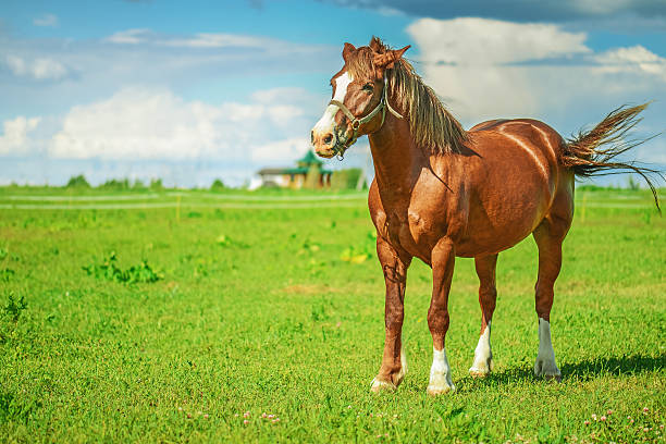 brown thoroughbred horse stock photo