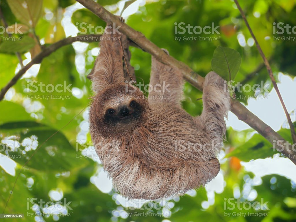 Brown throated sloth in the jungle stock photo