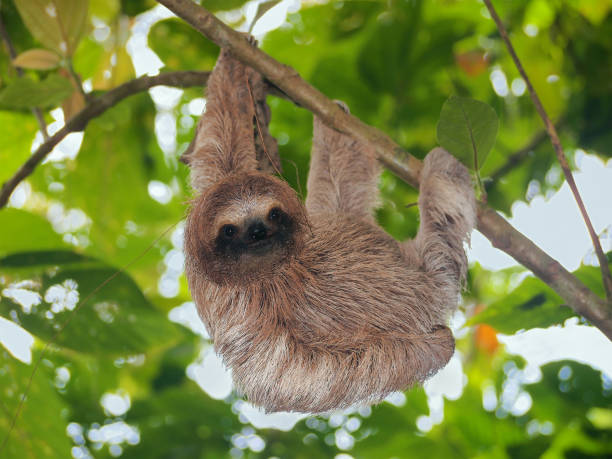 brown throated sloth in the jungle - sloth stock pictures, royalty-free photos & images