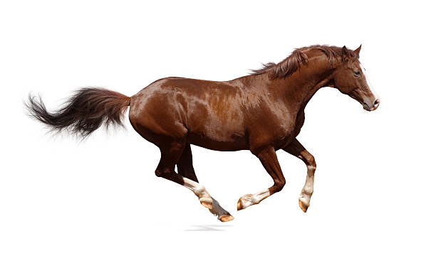Brown trakehner stallion Brown trakehner stallion isolated on white arabian horse stock pictures, royalty-free photos & images