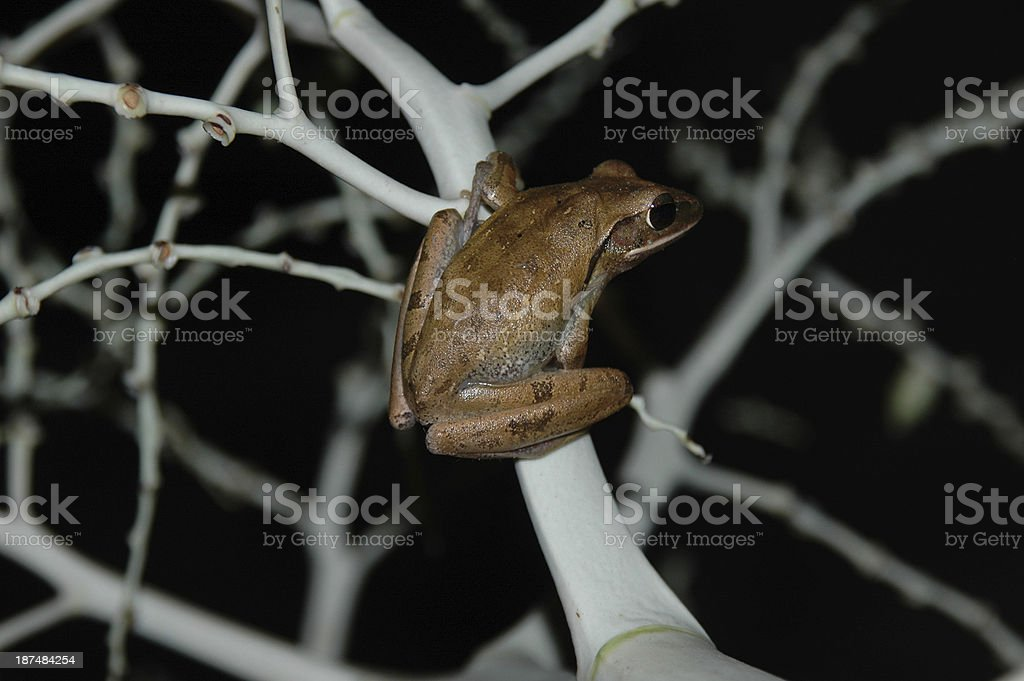 Brauner Laubfrosch auf weißem Branch – Foto