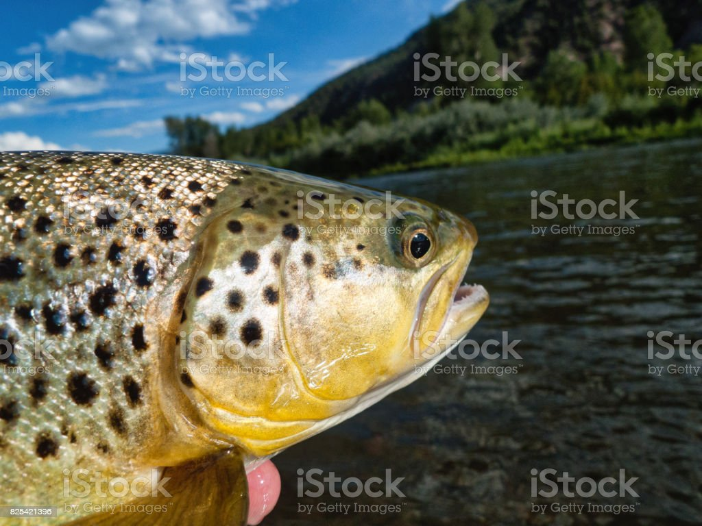 Brown Trout Catch and Release Fly Fishing stock photo