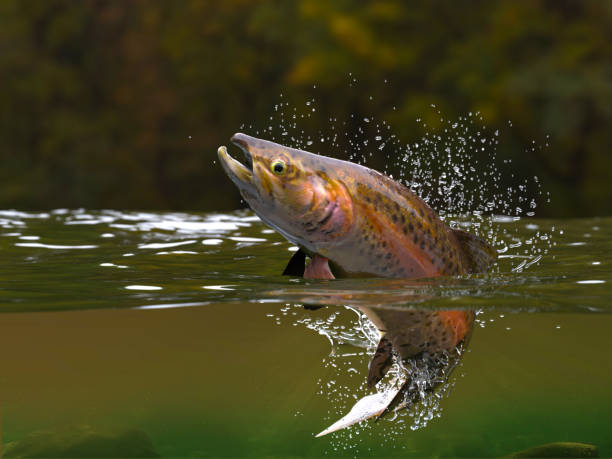 Brown trout fish jumping in river halfwater view 3d realitstic render Brown trout fish jumping in river halfwater view 3d realitstic render salmonidae stock pictures, royalty-free photos & images