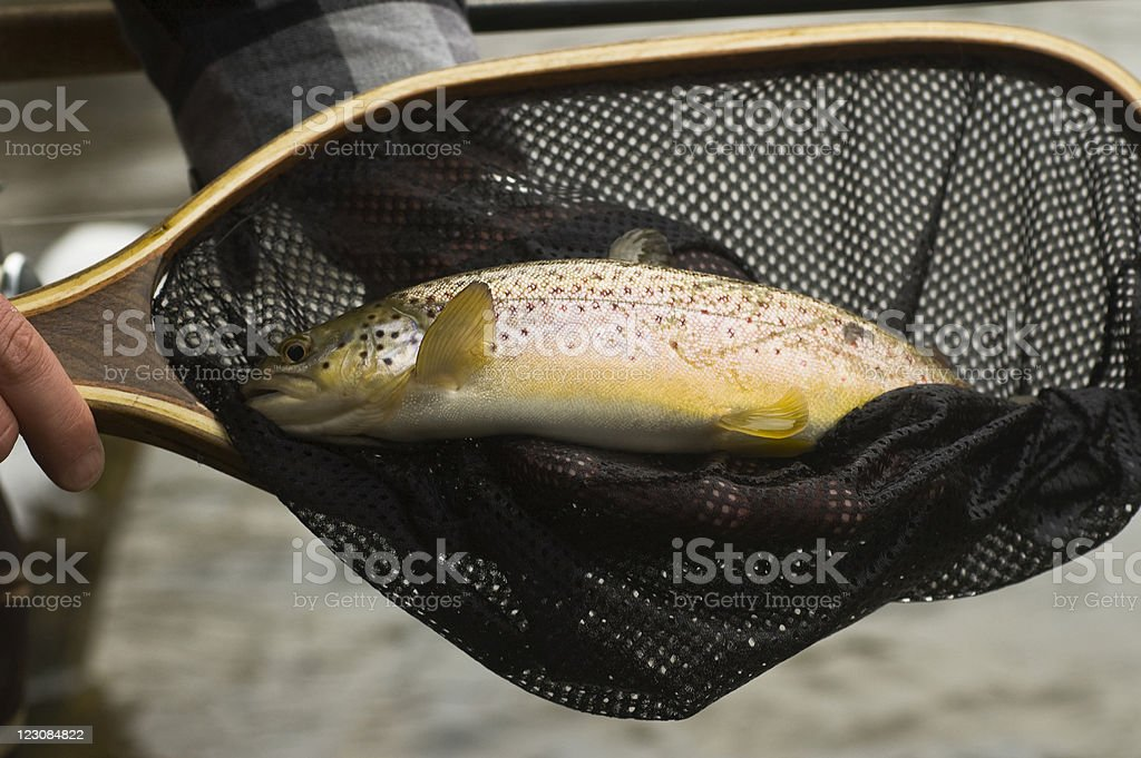 Brown Trout in Net royalty-free stock photo