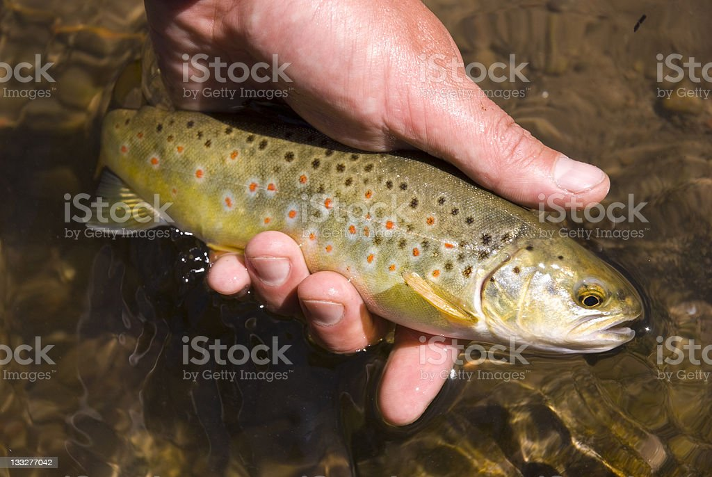 Brown Trout in River with Colorful Spots royalty-free stock photo