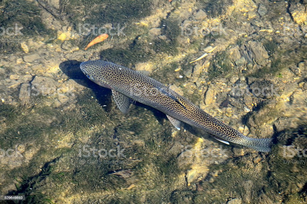 Brown Trout in shallow water. stock photo