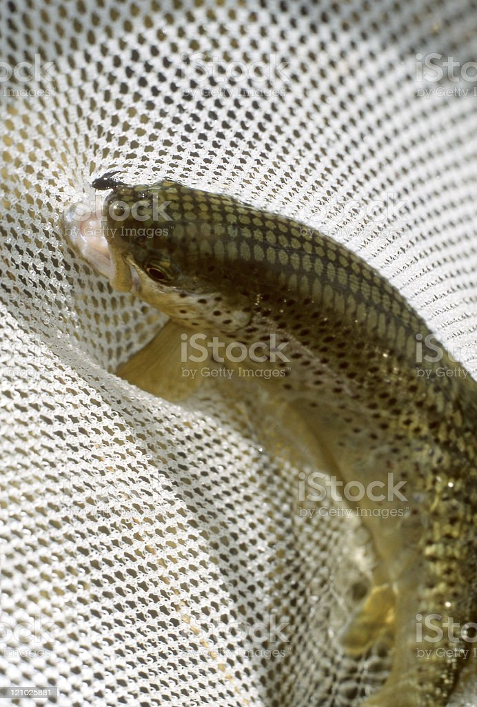 Brown trout in the net royalty-free stock photo