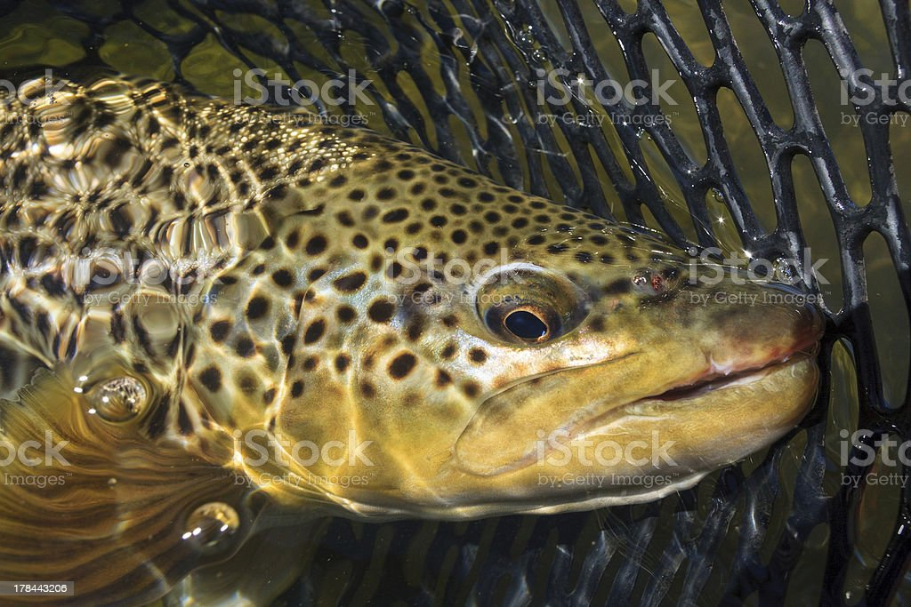 Brown Trout In The Net stock photo
