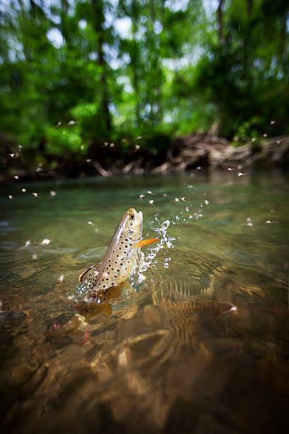 Brown trout springen aus dem Wasser – Foto
