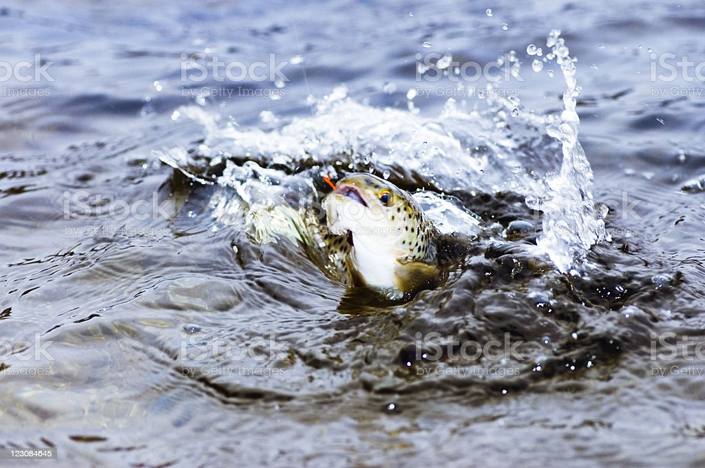 Brown Trout Jumping stock photo